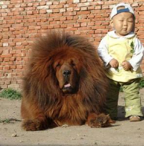 Az 1.000.000 $-os tibeti masztiff (Kínában)