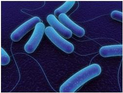 Koch-féle (tbc) bacilus